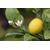 Citrus 'La Valette' -Thoby Gaujacq