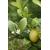 Citrus La Valette -Thoby Gaujacq