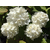 Viburnum plicatum Popcorn Thoby Gaujacq2