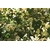 vitis brevipedonculata var sieboldiana  elegans (2)