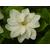 Gardenia grandiflora -Thoby Gaujacq