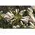 Agapanthus 'Thumbelina' - Thoby Gaujacq