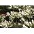 Agapanthus Thumbelina - Thoby Gaujacq