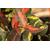 Trachelospermum asiaticum Ogon-nishiki_Thoby Gaujacq
