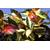 Trachelospermum asiaticum 'Ogon-nishiki'_Thoby Gaujacq