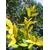 Laurus nobilis Aurea_ Thoby Gaujacq