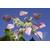 SCHIZOPHRAGMA hydrangeoides Roseum - Thoby Gaujacq copie