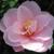 Camellia Fleur de pêcher.JPG