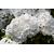 Kalmia Snow Drift 40