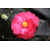 Camellia x Freedom Bell à Gaujacq