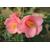 Camellia Cascade