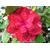 Camellia Nine Bents'