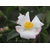 Camellia sasanqua Yoimach