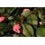 Camellia Fragrant pink