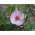 Eucryphia lucida Pink Cloud