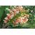 Hedychium x Pink V à Gaujacq