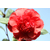 Camellia japonica John Tooby