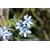 TWEEDIA caerulea-2
