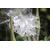TWEEDIA caerulea