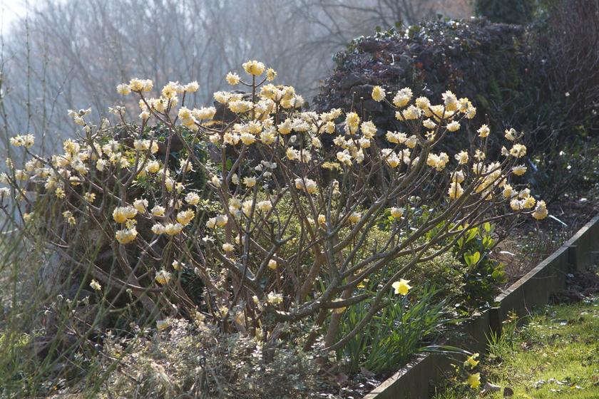 Edgeworthia chrysantha var grandiflora vente en ligne for Edgeworthia chrysantha