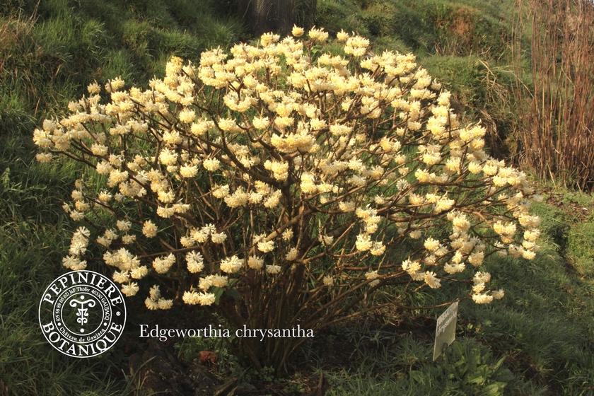 Edgeworthia chrysantha arbre papier pepiniere for Edgeworthia chrysantha