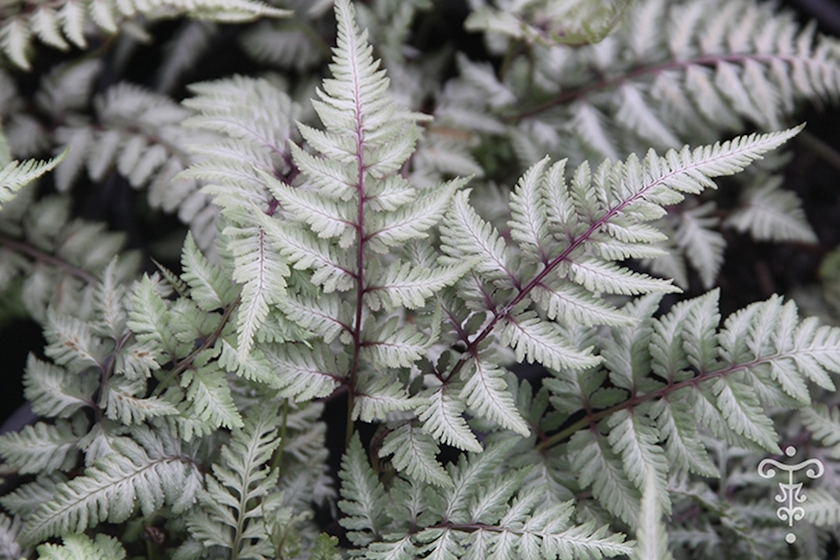 athyrium niponicum 39 ghost 39 vente en ligne foug re pepiniere botanique thoby gaujacq. Black Bedroom Furniture Sets. Home Design Ideas