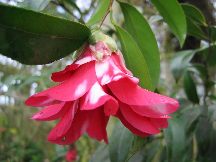 Camellia Japonica Kujaku Tsubaki Camelia Arbuste A Fleur Rouge