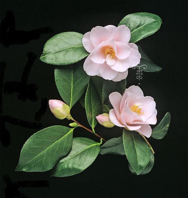 Camellia japonica 39 fleur de p cher 39 vente en ligne for Vente de fleurs en ligne
