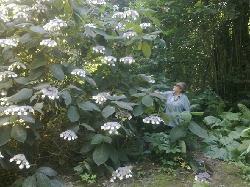 Hydrangea aspera Bellevue Hydrangea-bellevue