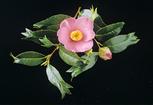 camellia-japonica-kingyo-tsubaki