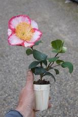CAMELLIA japonica de higo 'OH-KAN' POT BOIS de 7cm
