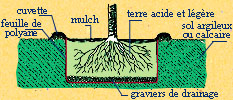 comment planter le cam lia pepiniere botanique. Black Bedroom Furniture Sets. Home Design Ideas