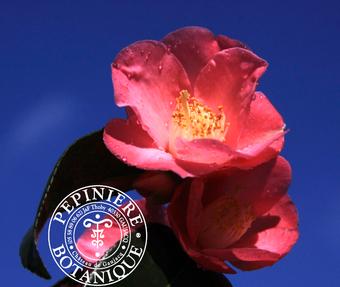 Camellia hybride Koto-no-kaori Gaujacq-Thoby