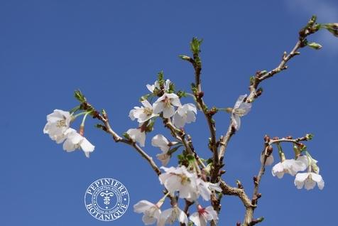 Prunus Kojo-no-mai Thoby Gaujacq 1