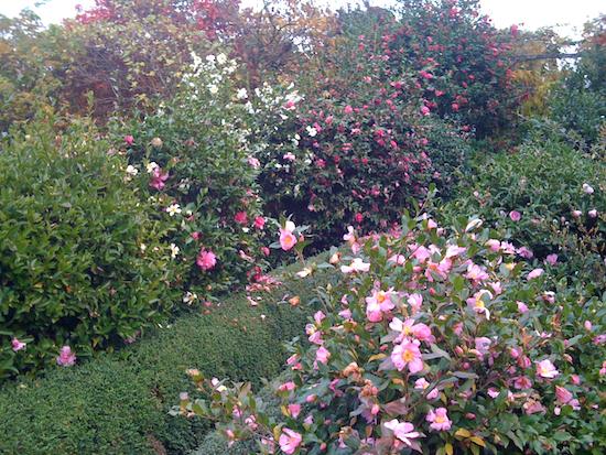 camelias-d-automne-au-plantarium-de-gaujacq