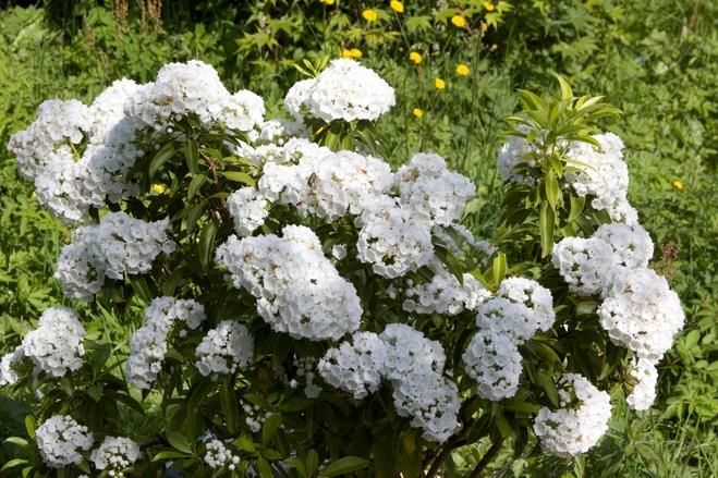 Kalmia latifolia Snow Drift-Thoby Plantarium(1)