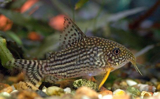 Corydoras sterbai poisson de fond corydoras aqualux for Nettoyeur aquarium poisson
