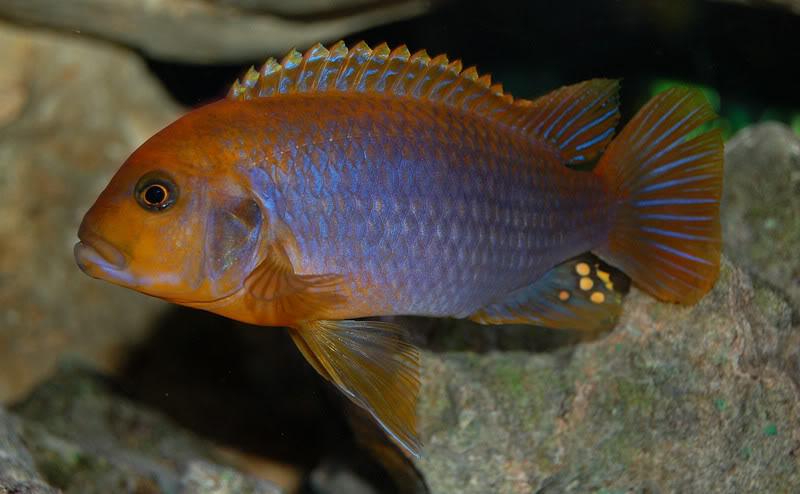 iodotropheus-sprengerae-mascul1