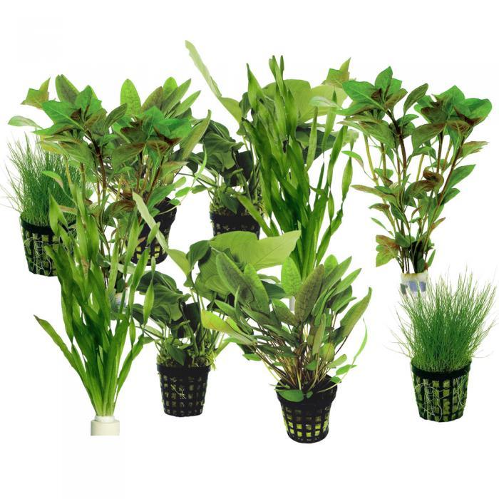 plante aquatique filtrante