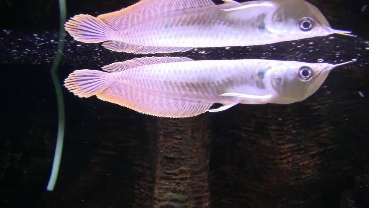 Osteoglossum bicirrhosum 12-15cm