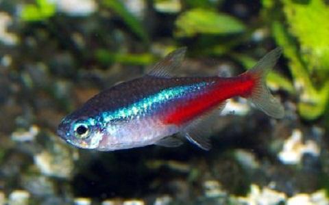 xopark4Neon-bleu-Paracheirodon-innesi-Neon-tetra