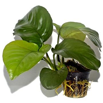 anubias-barteri-var-caladiifolia-03