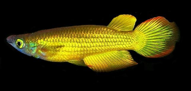 Aplocheilus-lineatus-Gold-CI-2012