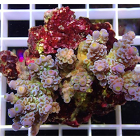 Acropora sp. Purple green élevage 6-9 cm WYSIWYG