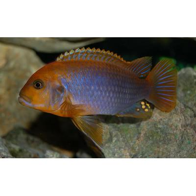 iodotropheus sprengerae  9-10cm (F1)