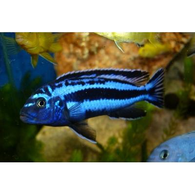 melanochromis maingano 5cm
