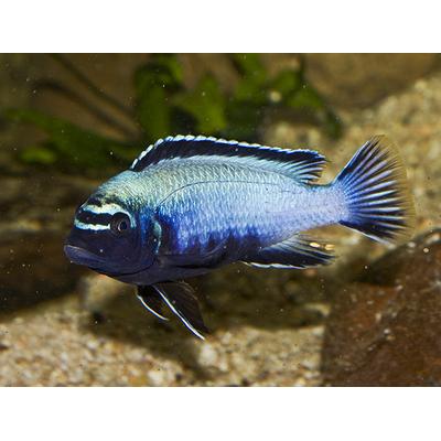 Pseudotropheus membe deep 4cm (F1)