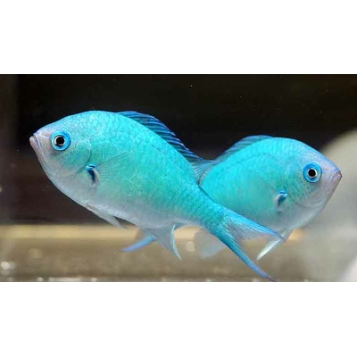 Chromis viridis, Blue green damselfish 3cm