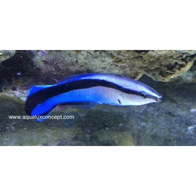 Labroides dimidiatus, Bluestreak cleaner wrasse 5-7 cm