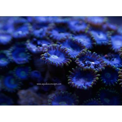 Zoanthus Bleu